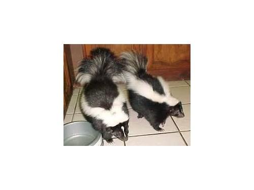 Tamed Skunk For Sale