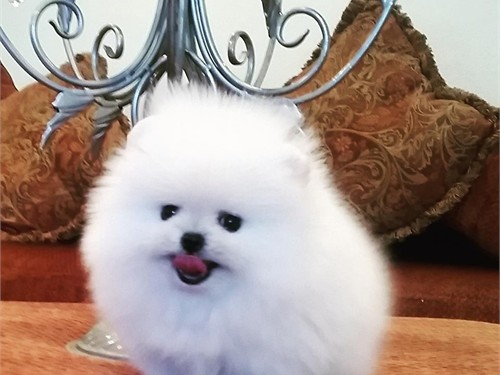 ice white pomeranian