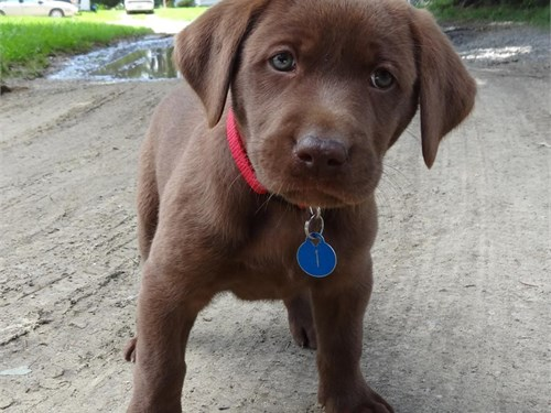 Chocolate Labrador Retrie