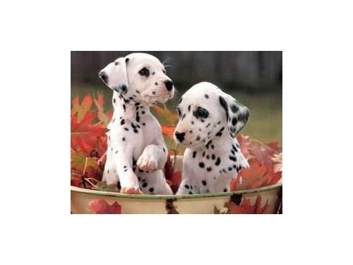 Dalmatian Puppies For Sal