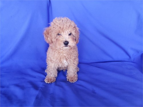 Red Toy Poodle Males