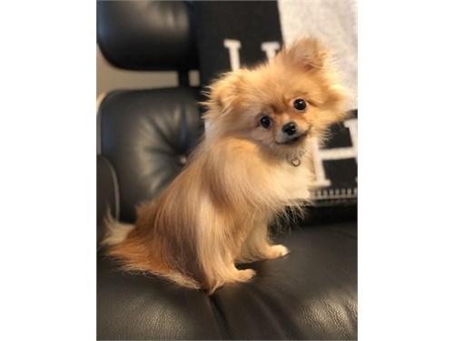 Micro Pomeranian Girl