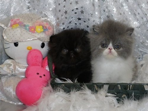 6 ColorfulPersianKittens