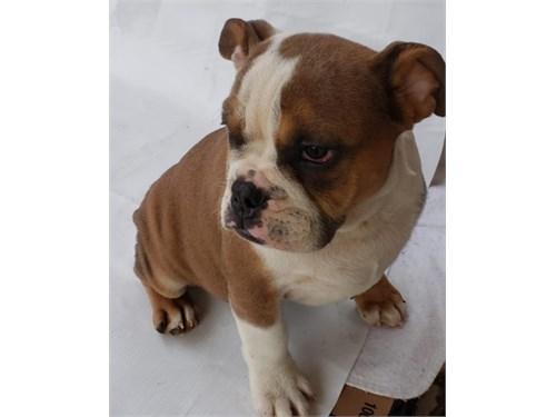 AKC English Bulldog  (F)
