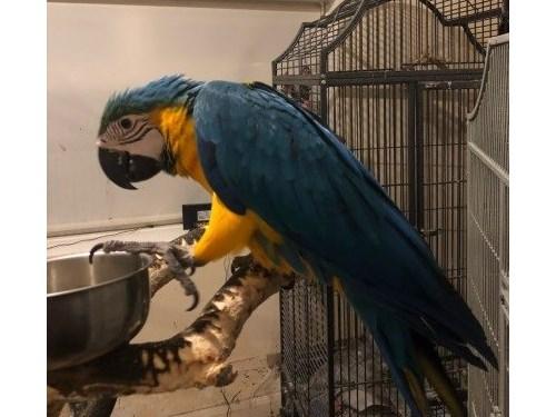 honest Blue & Gold Macaw