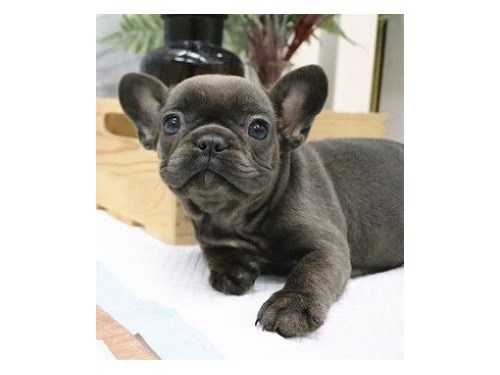 Bobby AKC Blue Frenchies