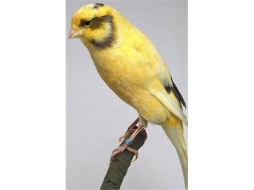 Variegated Canary
