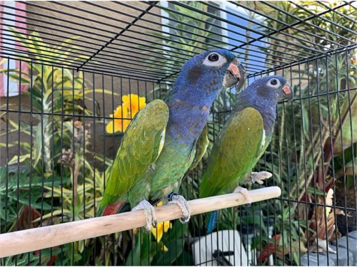 Blue-Headed Pionus