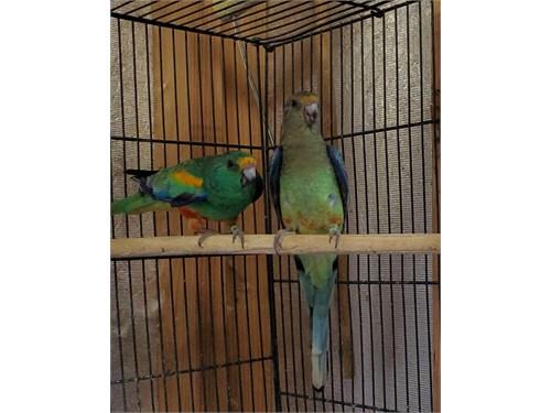 Mulga Many Color Parakeet
