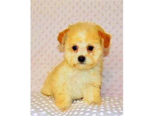 Poodle/tiny toy female