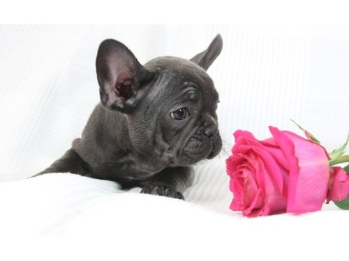 Ms Blue French bulldog