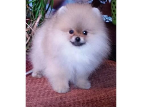Stunning pomeranian puppy