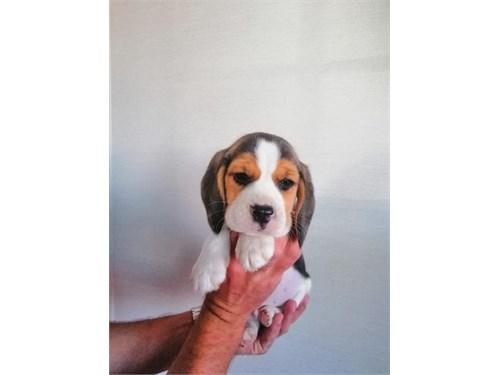 Adorable Beagle Pups
