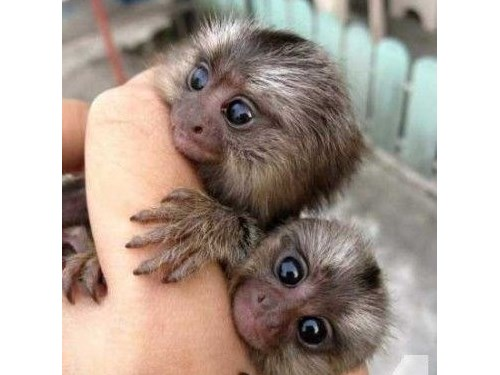Charming Marmoset Monkey