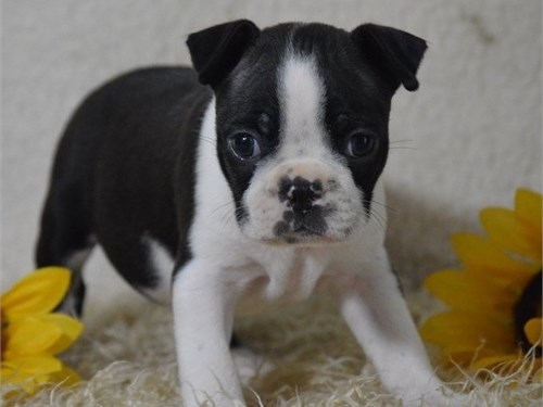 Akc Reg Boston terrier