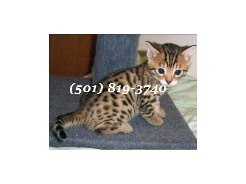 Super Bengals Available