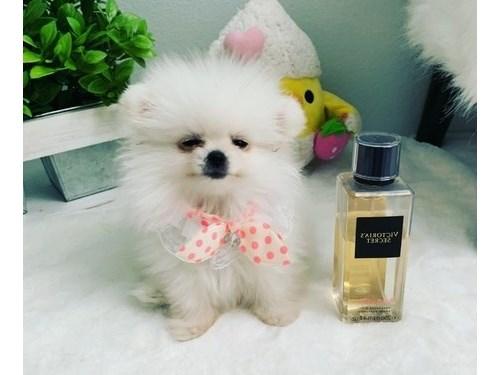 Confident Pomeranian