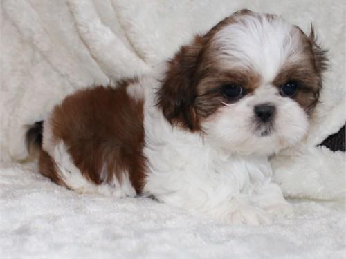Adorable shih-tzu puppy