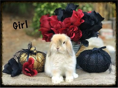 Holland lop baby bunnies
