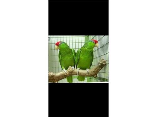 Loro parrot Amazon