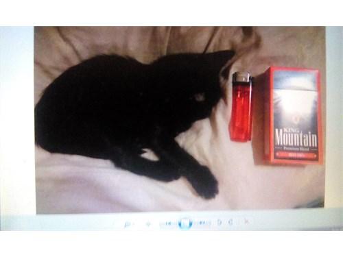 MINIATURE (cat) KITTENS