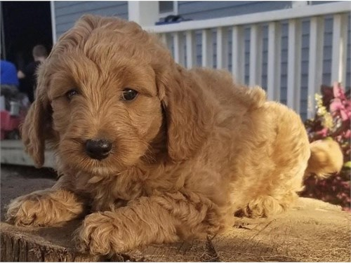 Mini F1B Goldendoodle