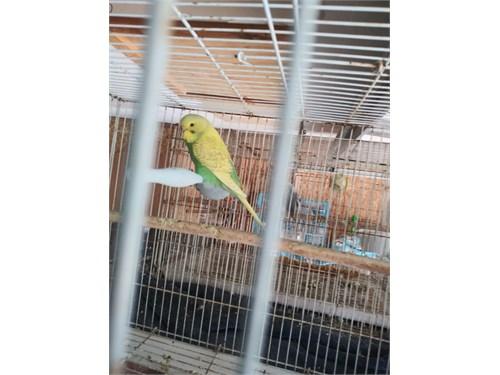 Periquitos parrot