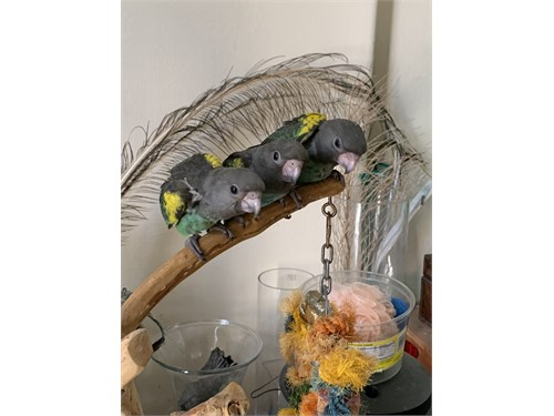 Meyer Parrot babies