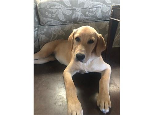 Blonde Labrador Puppy