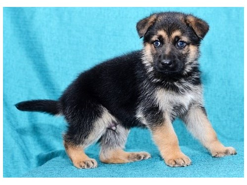 German Shepherd Pups!!