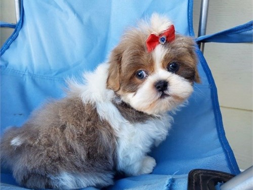 Adorable Shih Tzu Pups