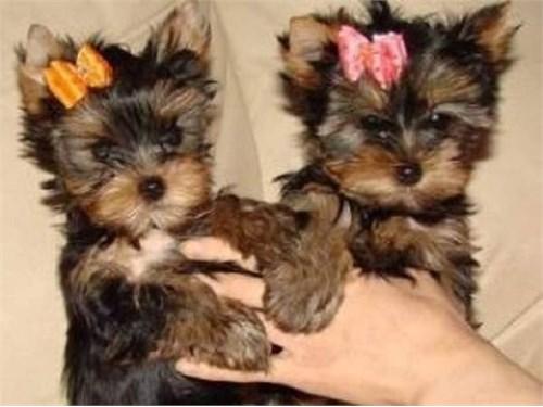 2 adorable Yorkie puppie