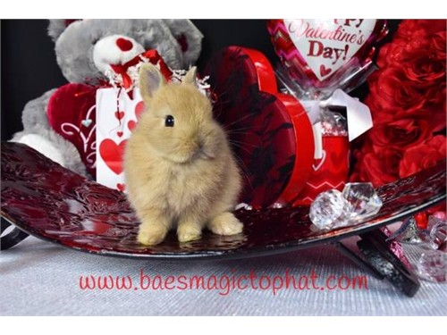 Sweet Dwarf Holland Lop