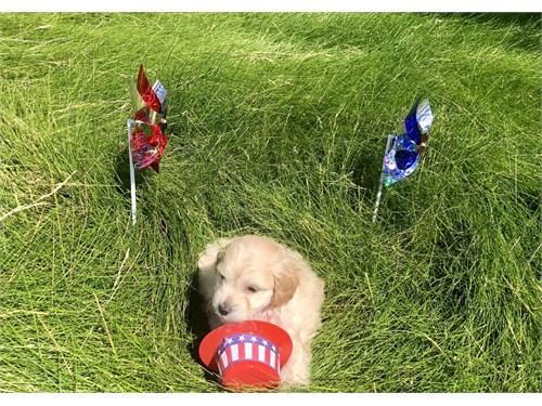 Tan Toy Maltipoo Puppy