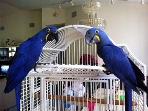 """hyacinth macaw"""