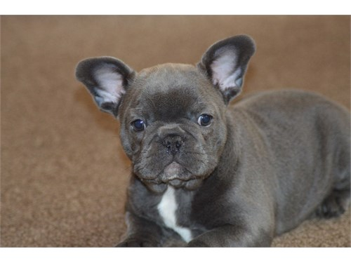 Rody blue french bulldog