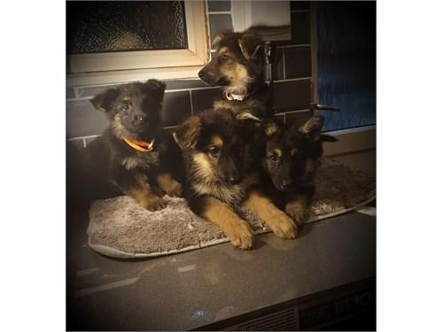 7 German Shepherd Pups