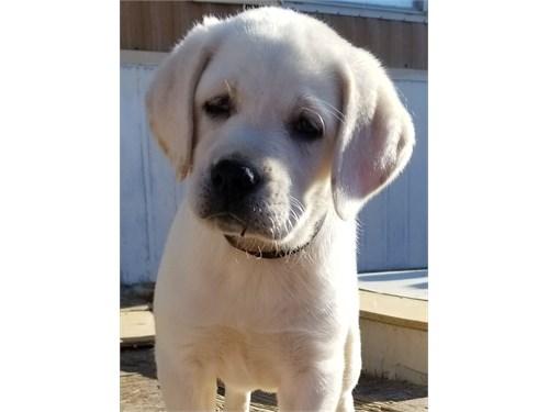 AKC White/Cream Lab Pups