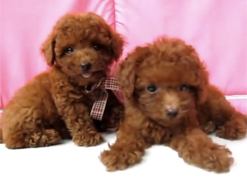 CUTE RED MALTIPOO PUPPIES