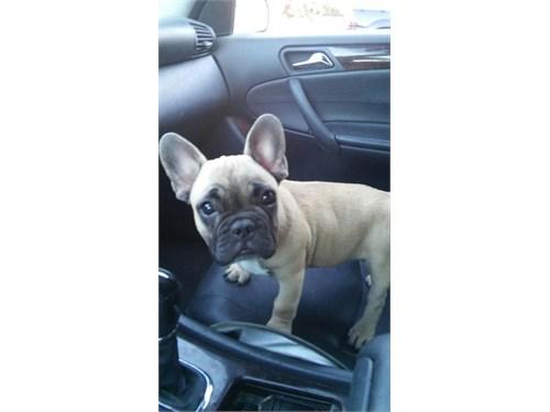 AKC Tiny French Bulldog