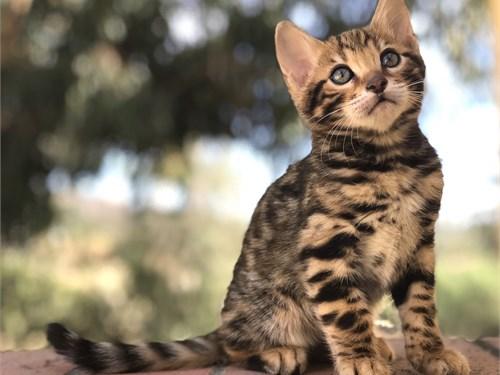 Exotic Bengal Kitten