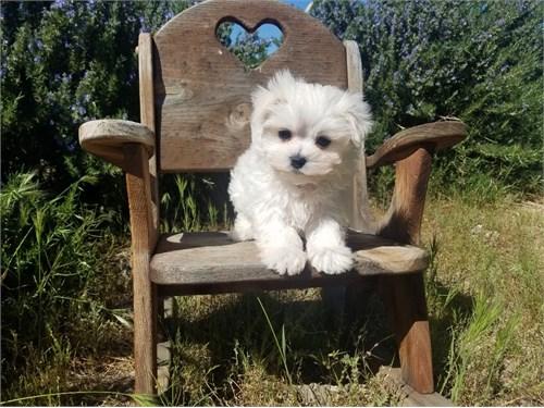 Adorable Maltese Pups