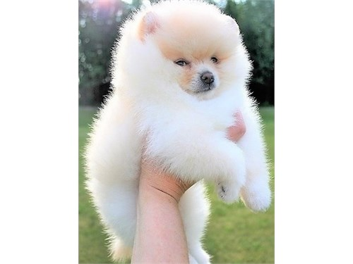 Caring Pomeranian puppies