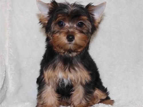 Tiny Yorkie puppy