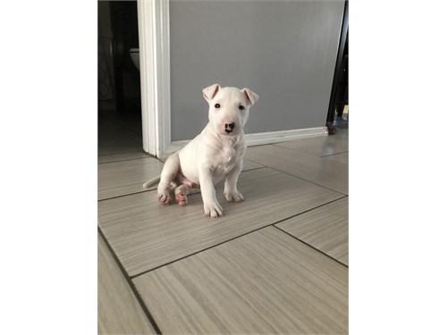 Male bull terrier puppy