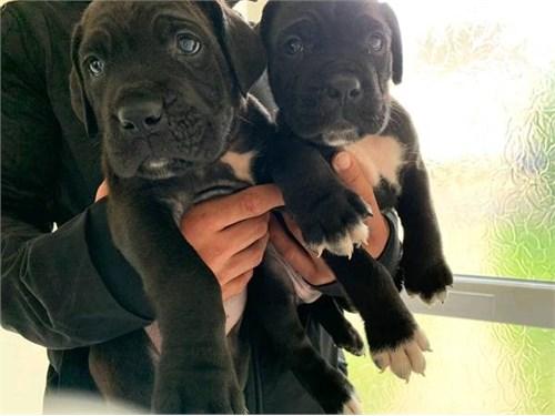 Cane Corso Mastiff puppy
