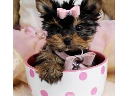 Cheerful Yorkie Pups