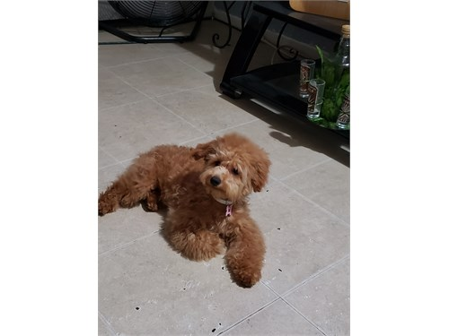 Red female Maltipoo