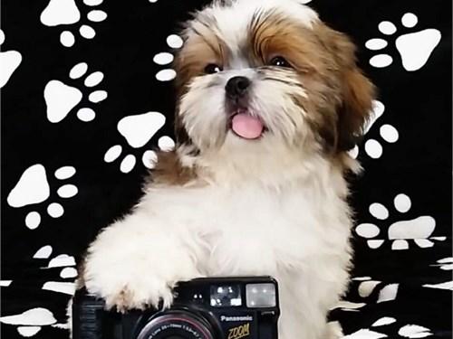 Lovely Shih Tzu puppies