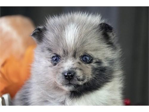 Adorable Pomsky Puppy